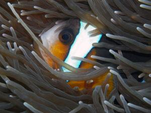 Kenia Diani Beach Tauchplatz Dive Site Kisimo Mungo Anemonenfisch anemonefish