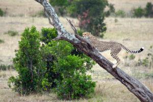 Safari in Kenia Masai Mara Naturschutzgebiet Gepard