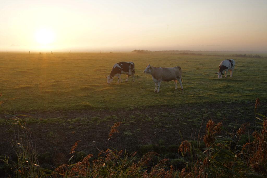 Nordsee Kühe zum Sonnenaufgang