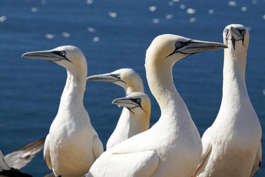 Nordsee Helgoland Basstölpel