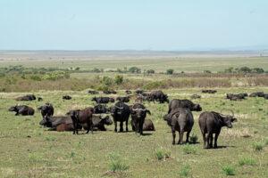 Büffel in der Masai Mara in Kenia dicke Dinger Säugetiere Big Five