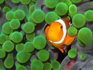 Indonesien Komodo Batu Bolong Clownfisch Anemonenfisch
