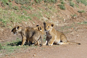 Safari in Kenia Masai Mara Naturschutzgebiet Nature Reserve Löwe Baby Lion