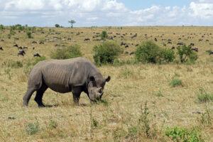 Safari in Kenia Masai Mara Naturschutzgebiet Nashorn