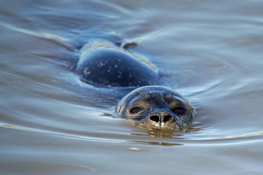 Nordsee Langwarder Groden Seehund Robbe beim Fischfang
