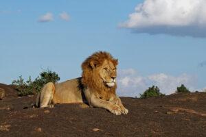 Masai Mara in Kenia mit posierendem Löwe männlich Säugetier