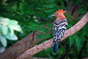 Isaan Huai Bong Wiedehopf Hoopoe Birdwatching Bird Watching Wildlife Vogel Vögel Natur