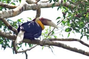 Khao Yai Nationalpark Nashornvogel Hornbill