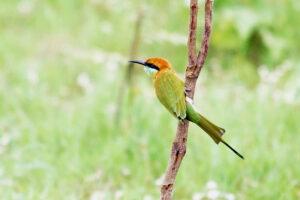 Isaan Thailand Bienenfresser bee-eater ta luang vogel korat