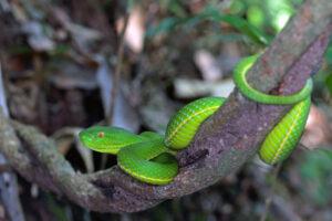 Khao Yai Nationalpark gruene Pit Viper