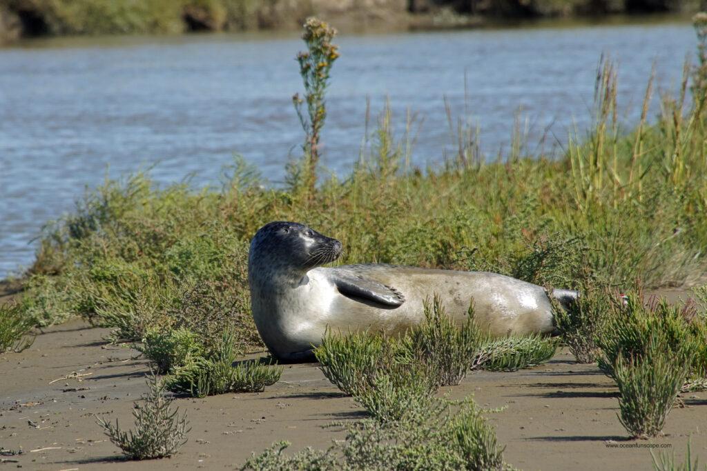 Nordsee Langwarder Groden Seehund Robbe beim Sonnenbad