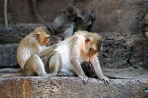 Thailand Lop Buri Affentempel Prang Sam Yot Stadt der Affen