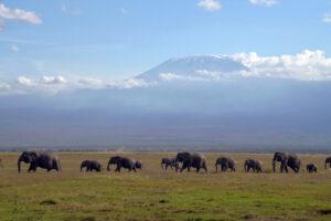 Elefanten mit Kilimanjaro im Amboseli Nationalpark in Kenia dicke Dinger Säugetiere