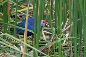 Khao Sam Roi Yot Purpurhuhn purple swamphen marsh Sumpf Landschaft