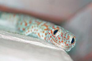 Tierwelt im Isaan Nakhon Ratchasima Korat Gecko Tokeh blau