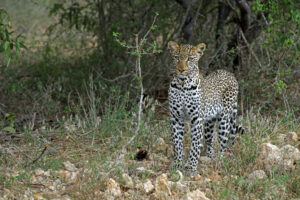 Safari in Kenia Tsavo West Nationalpark Leopard