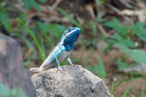 Tierwelt im Isaan Nakhon Ratchasima Korat blaue Echse blue lizard