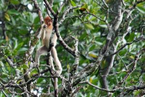 Brunei Nasenaffen in den Mangroven