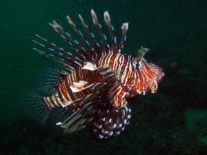 Kenia Diani Beach Tauchplatz Dive Site Igloo Reef Rotfeuerfisch lionfish
