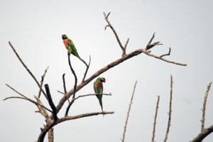 Thailand Isaan Natur Vögel Halsbandsittiche
