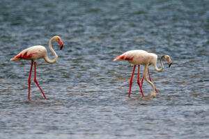 Kenia Mida Creek Flamingos