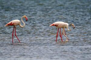 Kenia Mida Creek Flamingos