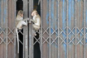 Lop Buri Prang Sam Yot Affentempel Thailand Stadt der Affen
