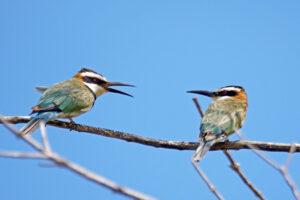 Kenia Mida Creek Bienenfresser Bee-eater