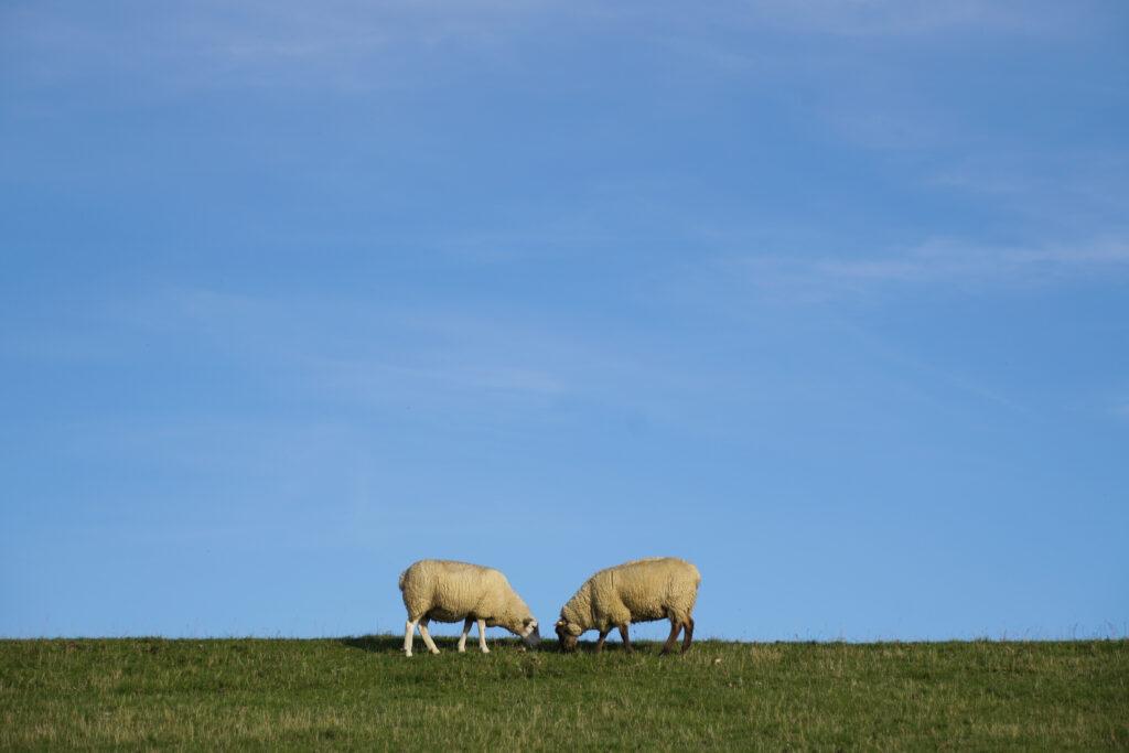 Nordsee Schafe auf dem Deich Butjadingen Eckwarnerhörde