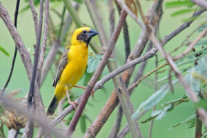 Thailand Isaan Ta Luang goldener Webervogel asian golden weaver