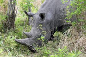 Nashorn im Krüger Nationalpark dicke Dinger Säugetiere