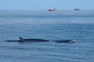 Whale Watching im Golf von Thailand Bryde Wal Wild Encounter Thailand
