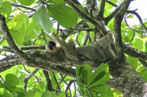 Costa Rica - Faultier im Manuel Antonio Nationalpark