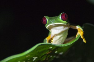 Costa Rica Rotaugenlaubfrosch