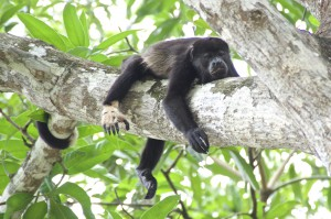 Costa Rica - Brüllaffe
