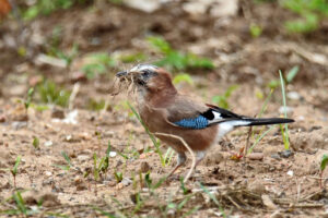 Homburg Sanddorf Closenbruch Eichelhäher Moor Stadtrand Wildlife Vögel Vogel Natur