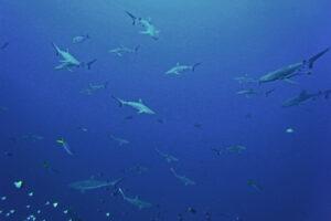 Palau Blue Corner und Siaes Corner graue Riffhaie grauer Riffhai Tauchen Strömung Riffhaken current