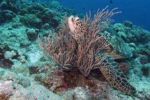 Palau Dexter's Wall und Sand Bar Schildkröten Mantas Haie Korallen bunt