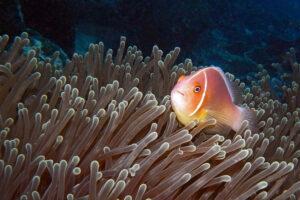 Palau Tauchen Anemonenfisch Großfisch