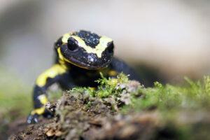 Feuersalamander Saarland Homburg Wildlife Natur Amphibien Salamandra Salamandra Mandelbachtal
