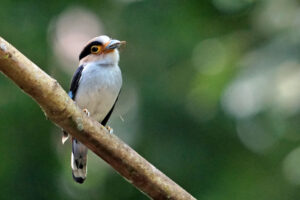 Kaeng Krachan Nationalpark Broadbill