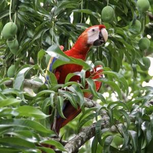 Costa Rica frei lebender Ara