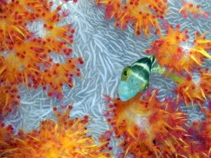 Indonesien Komodo Mawan Toby vor Weichkoralle soft coral Farben Kontrast