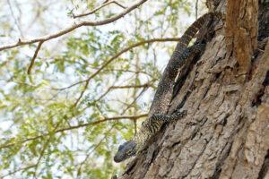 Indonesien Komodo Insel Rinca Baby Waran auf Baum Komodowaran