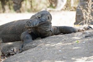 Indonesien Komodo Insel Komodo Waran