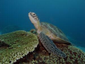 Indonesien Komodo Siaba Besar Schildkroete