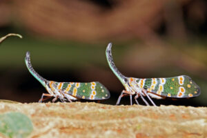 Kaeng Krachan Nationalpark Laternenkäfer Lantern Bug