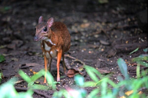 Kaeng Krachan Nationalpark Mouse Deer am Wasserloch