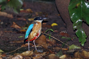 Kaeng Krachan Nationalpark Pitta Bird Watching