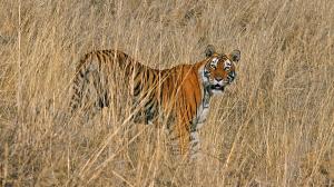 Frei lebender Tiger in Ranthambore Nationalpark in Indien Säugetier Raubtier